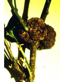 gall on plant
